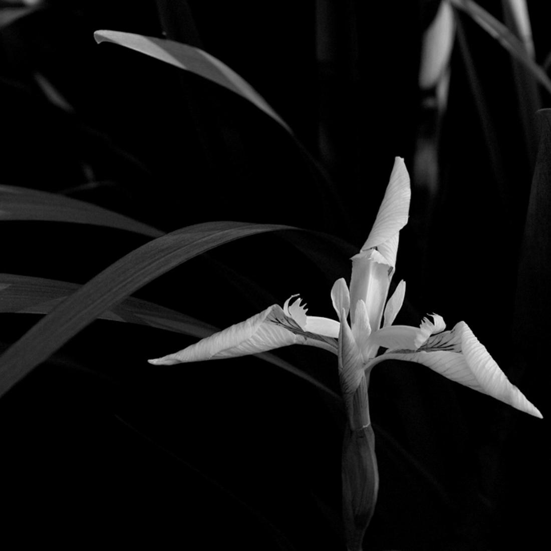 iris aquatique